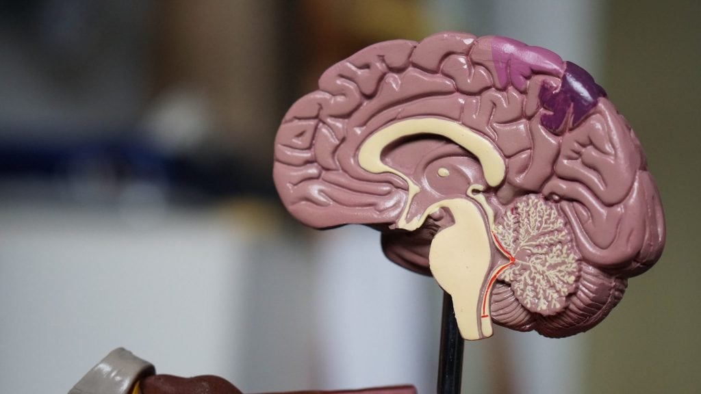 Photo of an educational toy of the brain